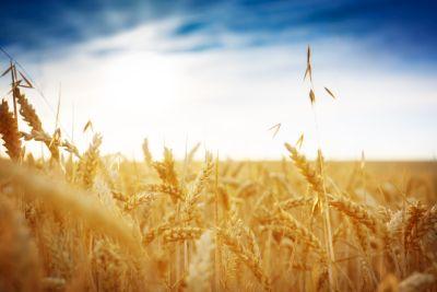 Getreidefeld vor blauem Himmel
