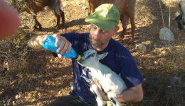 Die kleine Ziegenherde in Samaria wächst
