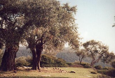 Ölbaum
