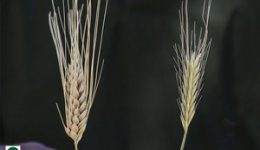 018-nv-wheat-tares