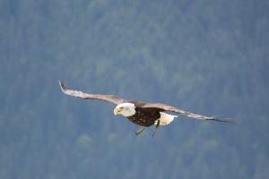 Und es wurden der Frau zwei Flügel des großen Adlers gegeben