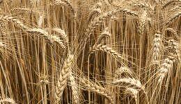 Schawuot – Rut und das Erntefeld YHWHs
